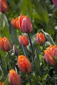 Orange tulip flower — Stock Photo
