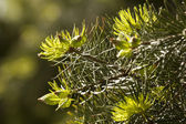 Green needles of pine — Stock Photo