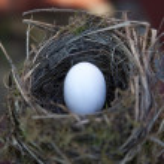 Detail of bird eggs in nest — Stock Photo #51385675