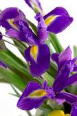 Iris azul de flores de primavera aislado — Foto de Stock