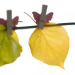 Stock Photo: Different autumn leaves hanged
