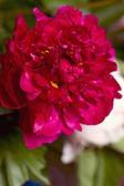 Piwonia kwiat w wazonie — Zdjęcie stockowe