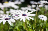 Wild Daisy — Stock Photo