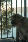Wild ape calling — Stock Photo