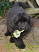 Newfoundland dog puppy with tennis ball — Stock Photo
