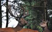 Red deer in the forest — Stock Photo