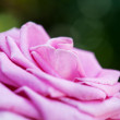Ping flower rose — Stock Photo