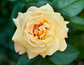 Rose in garden — Stock Photo