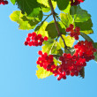 Stock Photo: Red viburnum