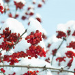Stock Photo: Viburnum under snow background