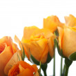 Orange roses isolated — Stock fotografie