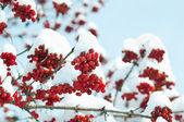 Viburnum under snow background — Stock Photo