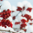 Stock Photo: Winter frozen viburnum