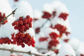 замерзшая калина зима — Стоковое фото
