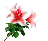 Azalea flower isolated — Stock Photo