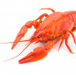 Crayfish isolated — Stockfoto