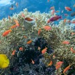 Stock Photo: Coral scene - panorama