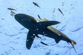 White tip oceanic shark — Stock Photo