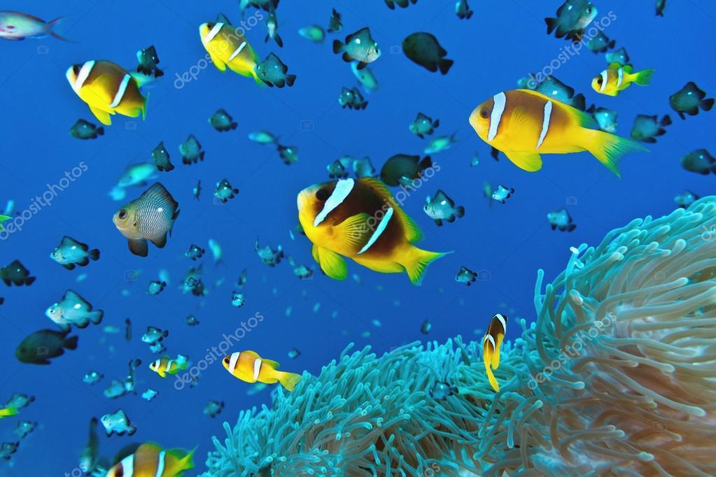 Pesce pagliaccio sul corallo molle foto stock criso for Pesce pagliaccio foto