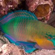 Royalty-Free Stock Photo: Parrotfish