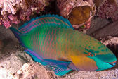 Parrotfish — Stock Photo