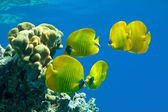 Butterfly fish — Stock Photo
