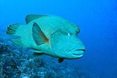Napoleon fish — Stock Photo