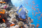 Arabian angelfish on the coral reef — Stock Photo