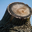 Royalty-Free Stock Photo: Cut tree