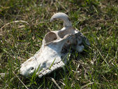 Cow skull — Stock Photo
