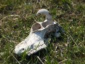 Koe schedel — Stockfoto