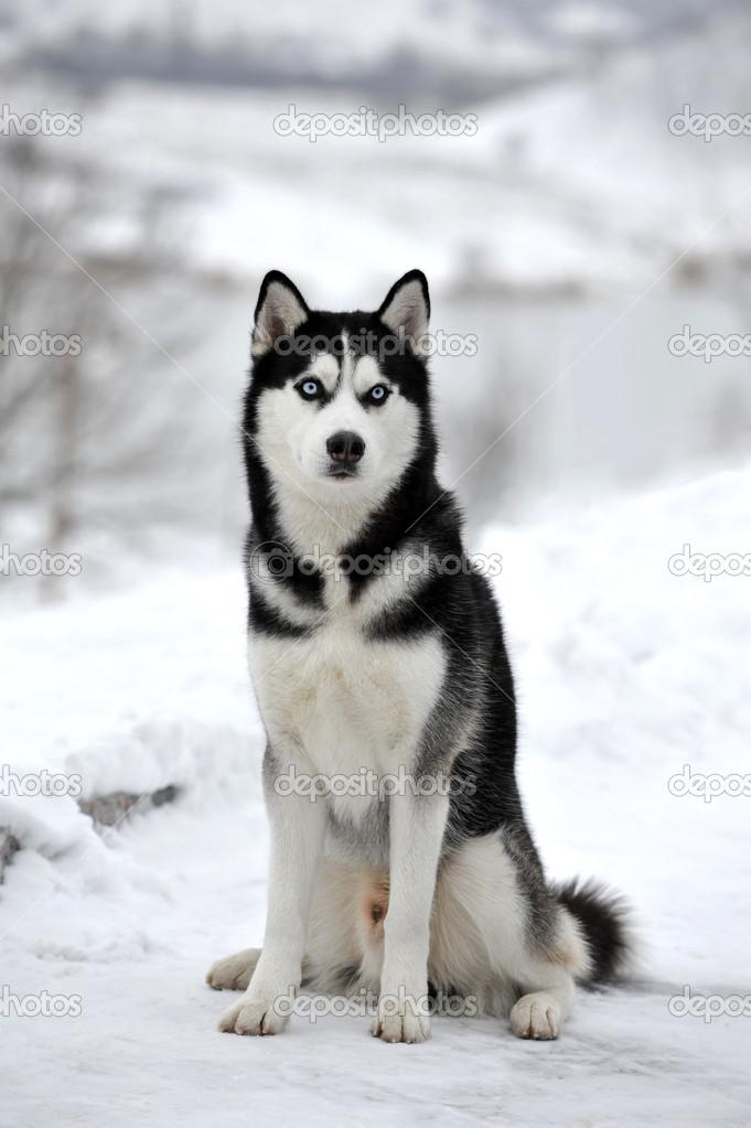 Рисунок собаки хаски