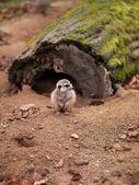 Meerkats — Stock Photo