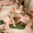 Little pigs — Stock Photo