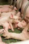 Malá prasata — Stock fotografie