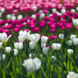Flowers tulips — Stock Photo #25867359