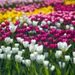 Flowers tulips — Stock Photo #25867399