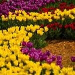 Flowers tulips — Stock Photo #25891773
