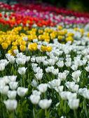 Flowers tulips — Stock Photo