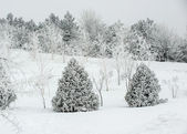 Landscape snowy forest — Stock Photo