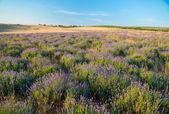 ラベンダー畑 — ストック写真