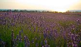 Lavender field — Stock Photo