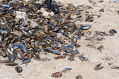 Mussels on the shore  — Stock Photo