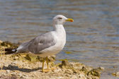 Gull on a rock — Stock Photo