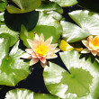 Aquatic Plants and flowers — Stock Photo