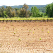 Outbreaks of vines in the fields of Vilafranca del Penedes — Stock Photo
