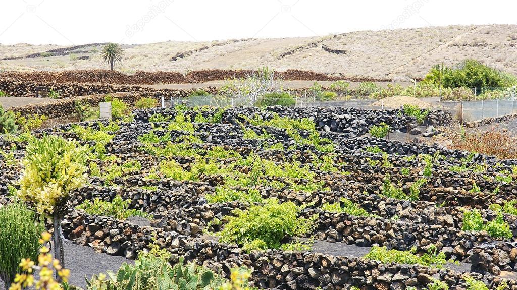 种植valle de la 阿尔及利亚的葡萄园