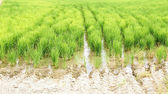 Rice plantation in the Ebro Delta — Stockfoto