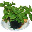 Stock Photo: Mint in pot