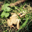 Carpathian frog hiding in the grass — Stock Photo